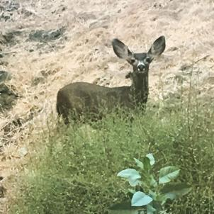 Look who's back. #officeview #hollywoodhills #deer